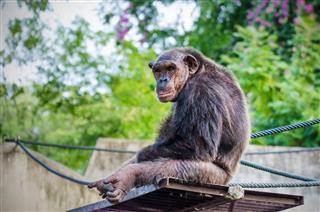 Chimpanzee Sitting