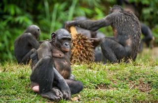 The Bonobo Family