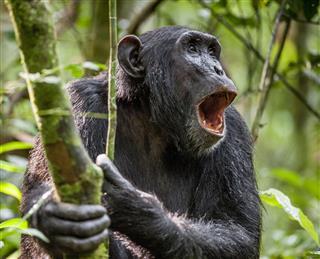 Shouting A Angry Chimpanzee