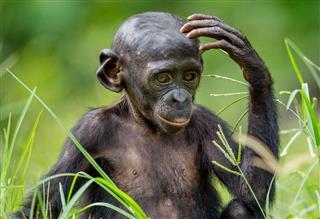 Portrait Of Bonobo Cub