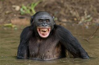 Smiling Bonobo In The Water