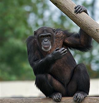 Adult Chimpanzee Pan Troglodytes