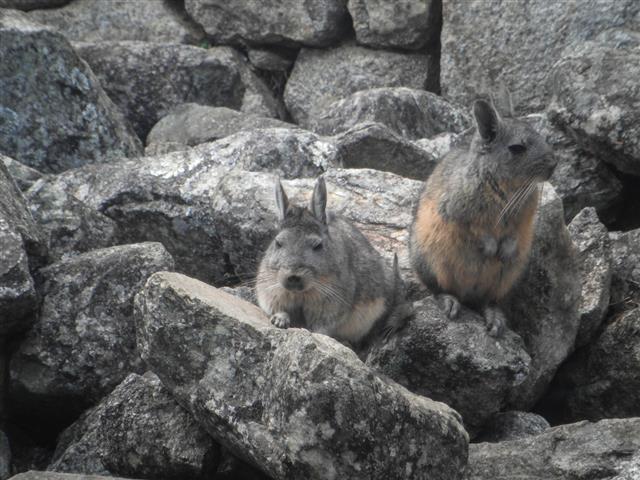 Northern Viscacha At Machu Picchu