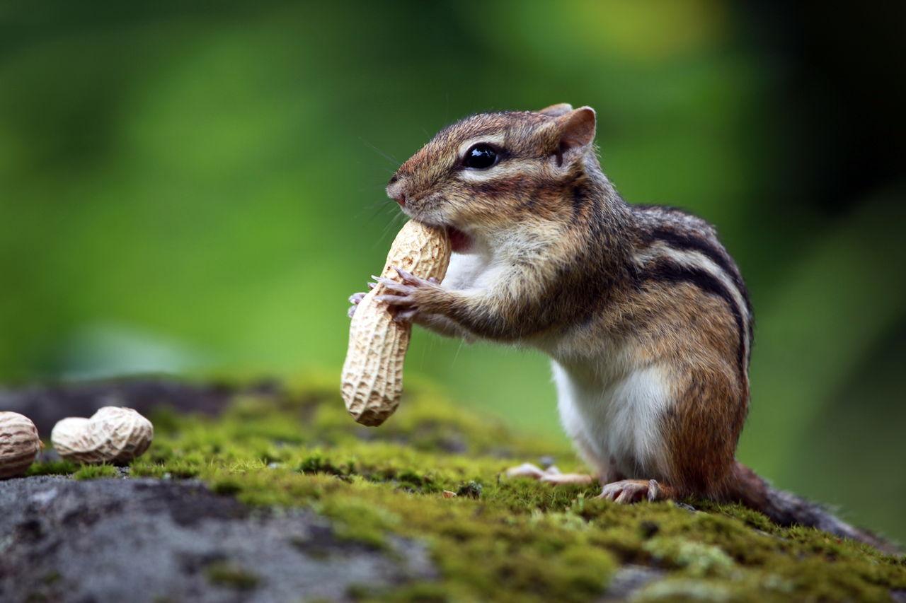 un écureuil savoure une cacahuète, en plein milieu d'une forêt
