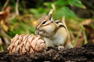 Cute Squirrel Eating Pine Cones