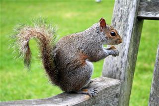 Sciurus Carolinensis Eats Nuts