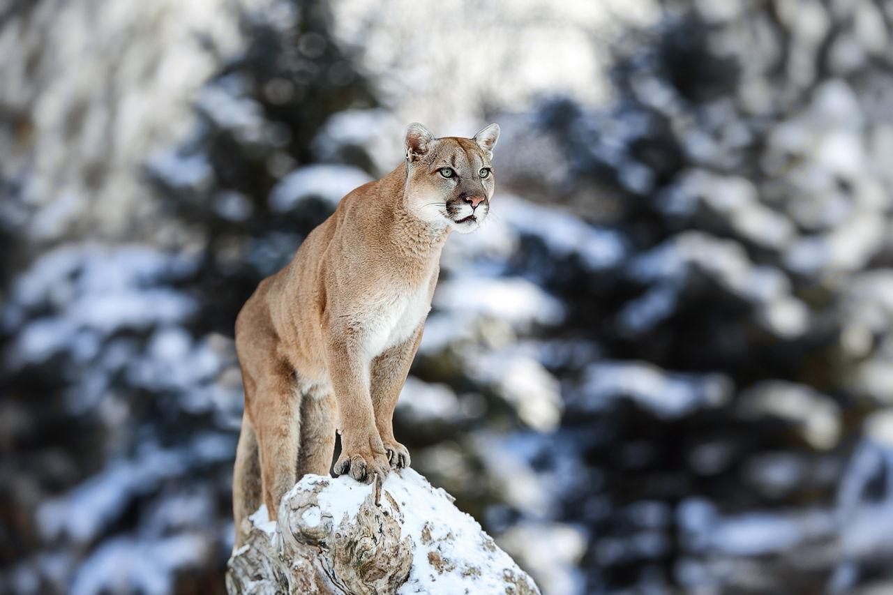cougar mountain lion habitat. Black Bedroom Furniture Sets. Home Design Ideas
