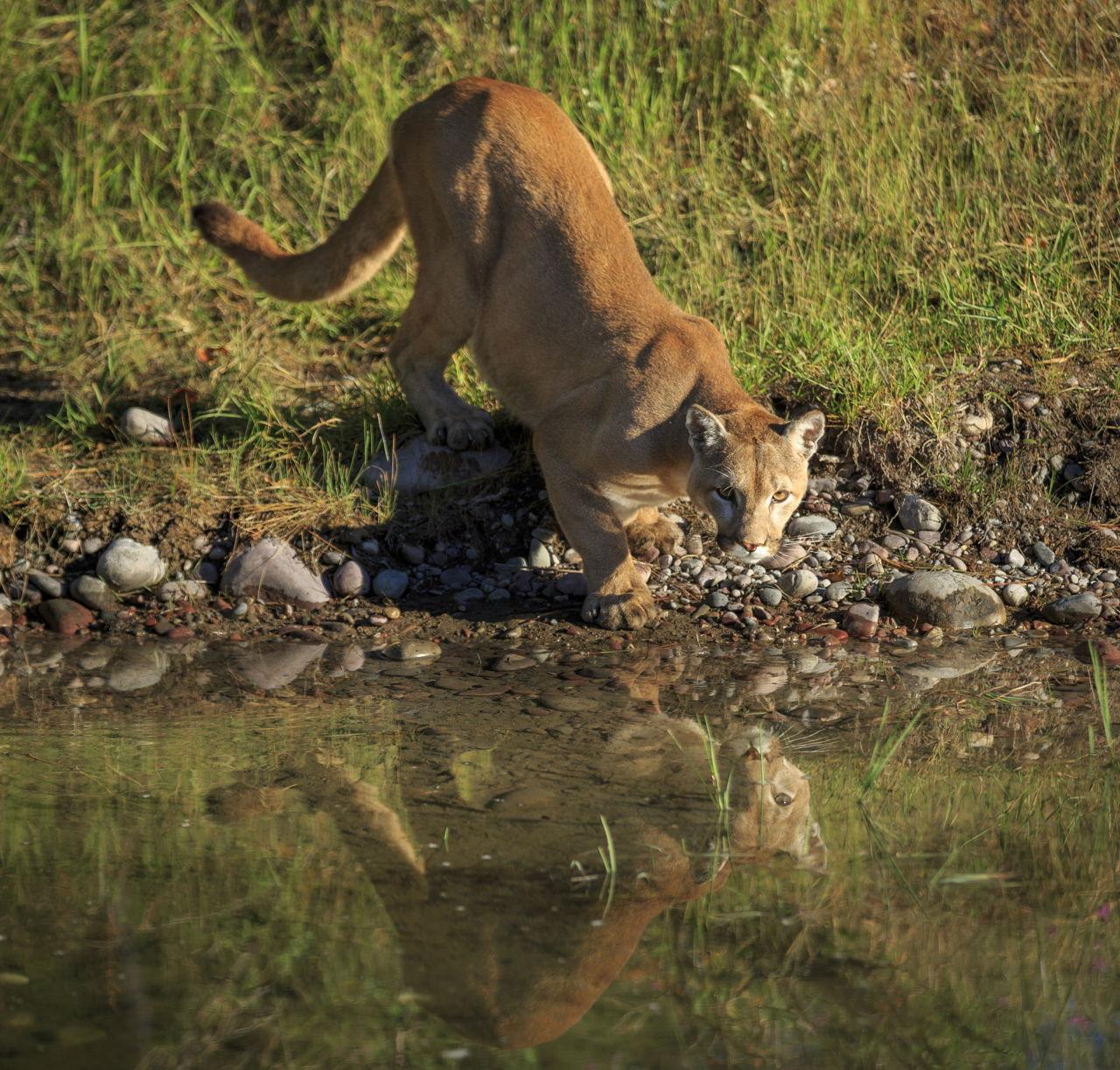Cougar (Mountain Lion) Habitat - photo#46
