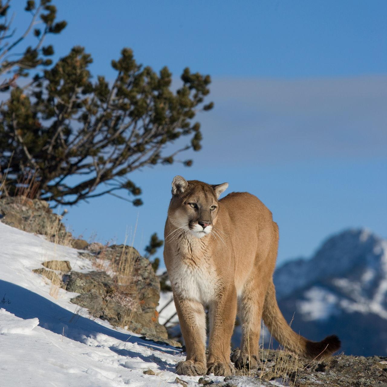 Cougar (Mountain Lion) Habitat - photo#25