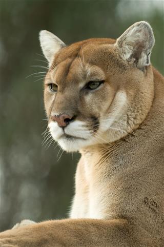 Captive Cougar Puma Mountain Lion