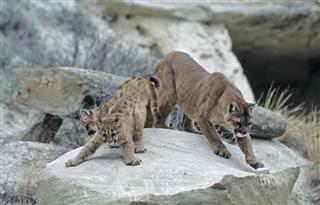 Cougar And Kits In North Dakotas Badlands