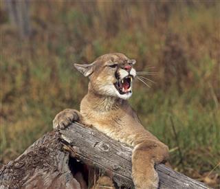 Cougar Growling