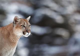 Portrait Of A Cougar Mountain Lion Puma
