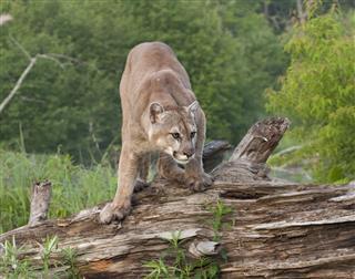 Cougar Crouching