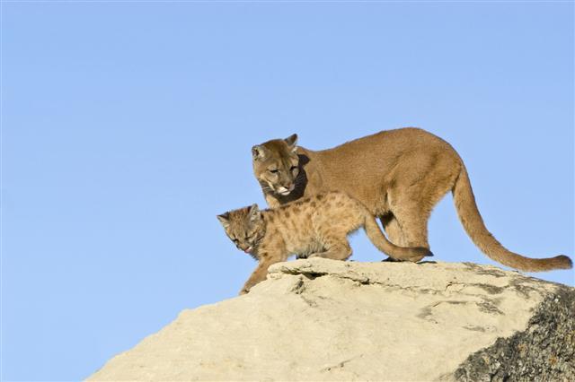 Cougar And Kit