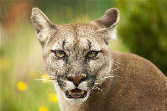 Puma Staring And Baring Its Teeth