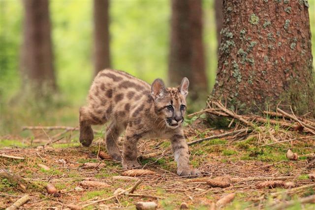 Puma Cub