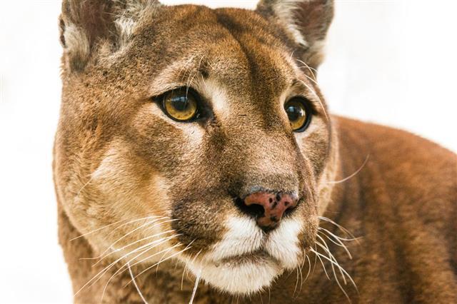 Staring Puma Portrait