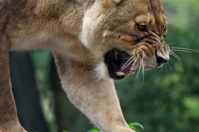 Puma Mountain Lion Or Silver Lion