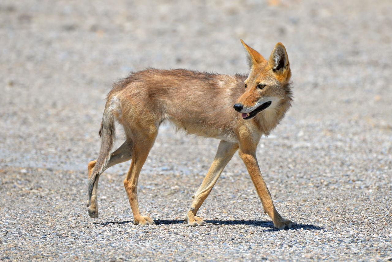 Adaptations In Desert Animals