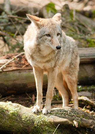Wild Animal Coyote