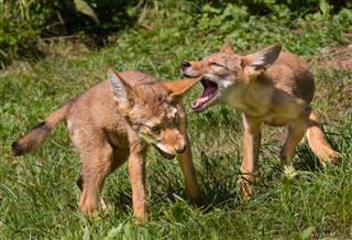 Coyote Pups At Den