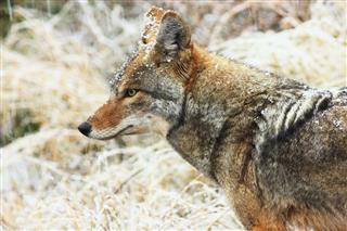 Coyote Canis Latrans Carnivore Animal Winter