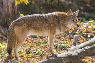 Alpha Male Coyote