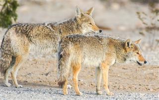 Coyotes Canis Latrans