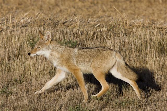 Coyote Saskatchewan