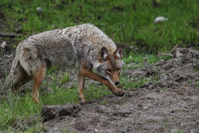 Alert Coyote