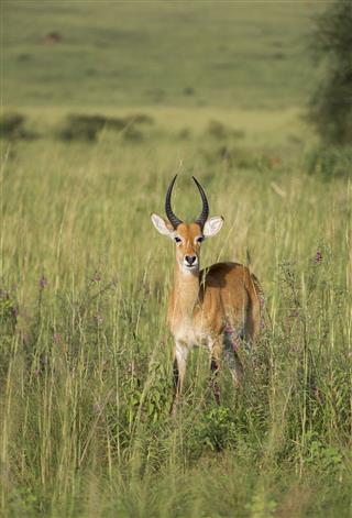Impala In Uganda