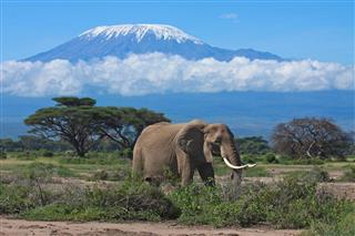 Elephant Mount Kilimanjaro Kenya
