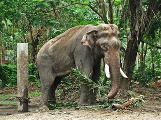 Male Elephant In Heat Or Mast