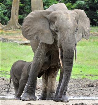 The Elephant Calf
