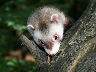 Ferret On The Tree
