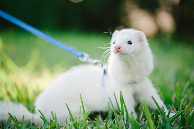 White Domestic Ferret Taking A Walk