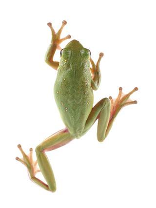 Green Tree Frog Climbing