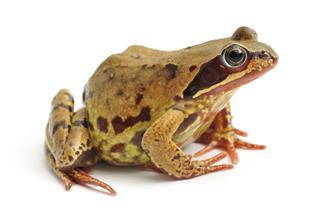 Common Frog Profile