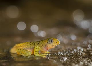 Malabar Gliding Frog Tadpole