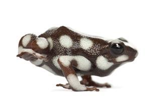 Maran Poison Frog