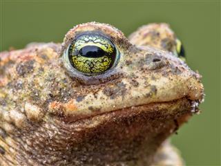 Epidalea Calamita Natterjack Toad Potrait