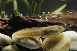 Tadpole To Bullfrog