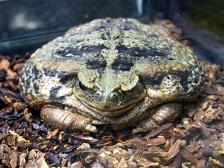 Large Amphibious Frog Bufo Marinus