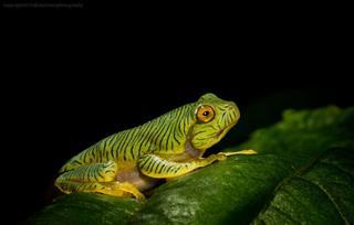 Gliding Frogs Tadpole
