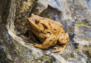 Frog Portrait On The Rocks