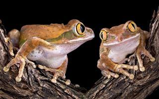 Tree Frog Love