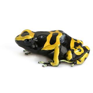 Poison Dart Frog Dendrobates Leucomelas