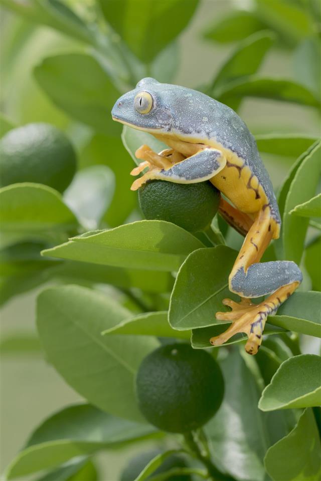 Juvenile Splendid Leaf Frog