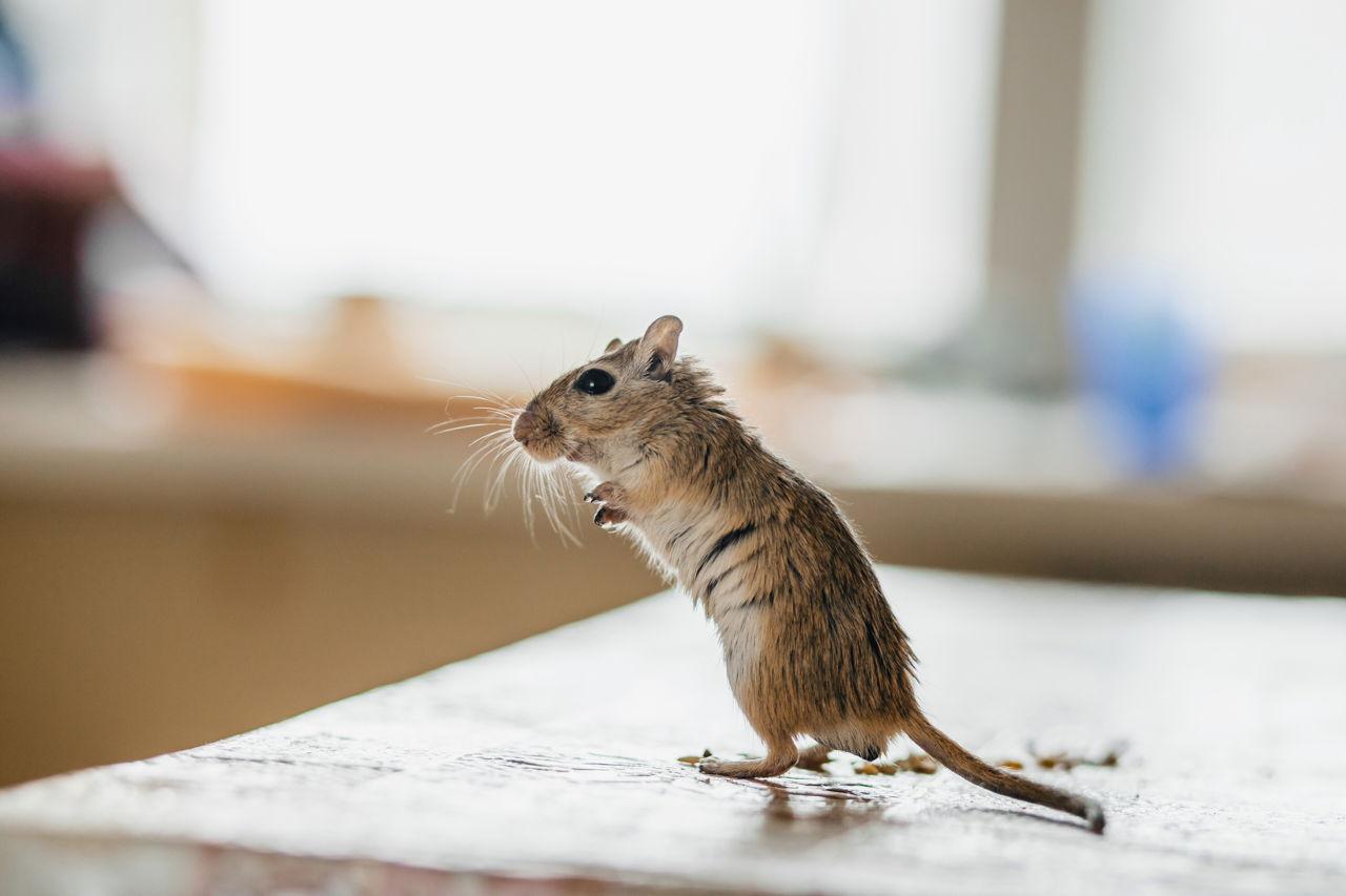 1280-514620958-gerbil-mouse-standing.jpg